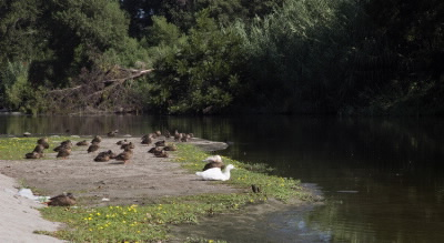 LA River_ducks_for Biodiversity