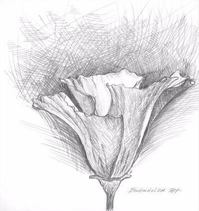 Poppy Sketch for Biodiversity